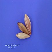 수수속살 내림찌(A형)|0.4푼/0.6푼/0.9푼/1.2푼/1.5푼 내외
